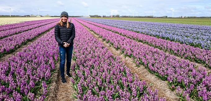 Amsterdam Tulips